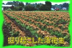 掘り起こした落花生畑